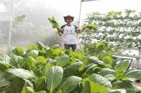 Jual Sayuran Online, Petani Hidroponik Palembang Bertahan…