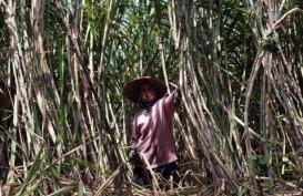 Genjot Bahan Baku Gula, PTPN XI Perluas Lahan Tebu di Tanah Perhutani