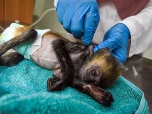 Klinik BKSDA Riau Tetap Beroperasi Meski Pandemi Covid-19