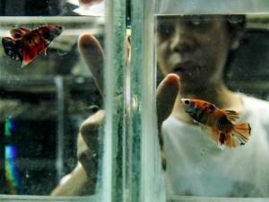 Budidaya Ikan Cupang Kembali Tren saat Pandemi Covid-19