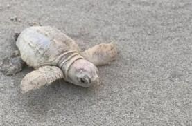 Penyu Langka Ditemukan di Pantai Carolina Selatan