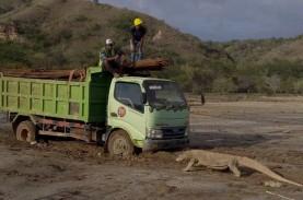 Begini Penampakan Komodo di Tengah Proyek Geopark…