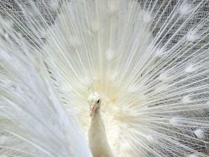 Merak putih Yang Didatangkan Dari India Melengkapi Kinantan Bird Park