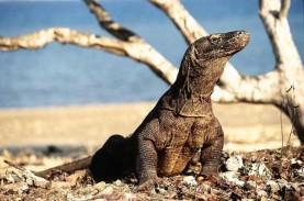 Tagar Save Komodo Bergema di Media Sosial, Petisi…