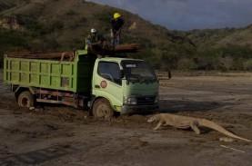 #SaveKomodo: Viral Foto Komodo Hadang Truk, BTNK Tutup…