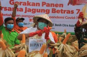 Kabupaten Jembrana Panen 19,9 Ton Jagung, Bagian Strategi…