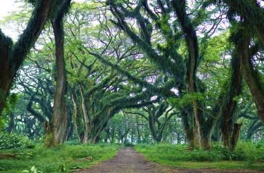 Wisata Magis ala Hutan The Lord of The Rings di Banyuwangi