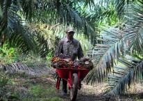 Pekerja mengangkut tandan buah segar (TBS) kelapa sawit di Muara Sabak Barat, Tajungjabung Timur, Jambi, Jumat (10/7/2020)./Antara - Wahdi Septiawan.