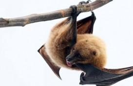 Ternyata, Kelelawar Vampir Menjaga Jarak Sosial ketika Sakit