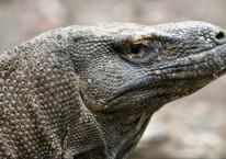 Komodo berada di habitat alaminya di Pulau Komodo, Nusa Tenggara Timur (NTT), Sabtu (25/10/2008)./Bloomberg-Adam Majendie