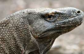 Kontroversi Jurassic Park di Pulau Rinca : Habitat Alami vs Pariwisata