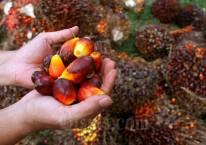 Pekerja menata kelapa sawit saat panen di kawasan Kemang, Kabupaten Bogor, Minggu (30/8/2020). Badan Litbang Kementerian ESDM memulai kajian kelayakan pemanfaatan minyak nabati murni (crude palm oil/CPO) untuk pembangkit listrik tenaga diesel (PLTD) hingga Desember 2020. Bisnis/Arief Hermawan P