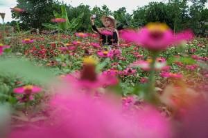 Kebun Tanaman Bunga Celosia Garden Ake di Belitung Ramai Dikunjungi Wisatawan