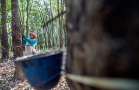 Harga Naik, Petani Karet di Lebak Garap Kebun Kembali