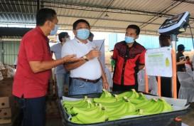 Jembrana Bali Mengembangkan Pisang Cavendish Kualitas Ekspor