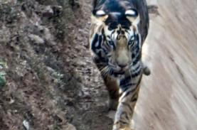 Harimau Hitam Langka Ditemukan Kembali