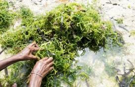 Inovasi Pengembangan Rumput Laut di Sulsel Terus Dikaji