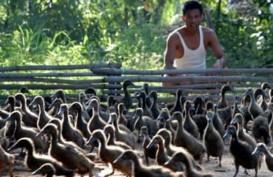 Bahayanya Penyalahgunaan Antibiotik pada Hewan Ternak