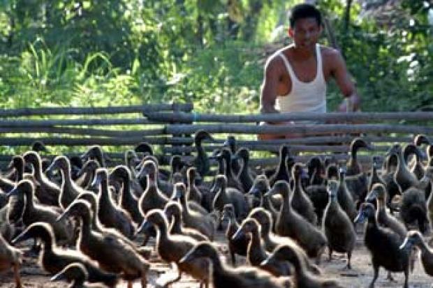 Warga di Pamekasan, Jawa Timur, beternak itik. - Antara/Saiful Bahri
