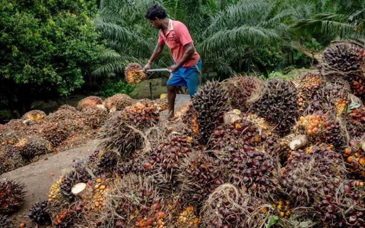Pekerja memindahkan tandan buah segar sawit. - Sanjit Das/Bloomberg