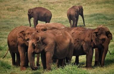 Begini Cara Pemerintah Sri Lanka Antisipasi Serbuan Gajah Liar