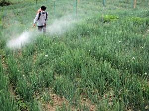 Petani Bawang di Sulawesi Selatan Menyemprotkan Fungisida Untuk Antisipasi Penyakit Tanaman