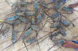 LIPI : Indonesia Punya Potensi 20 Miliar Lobster Tiap Tahun