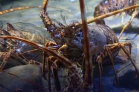 Mau Budidaya Lobster? Perhatikan Hal Berikut