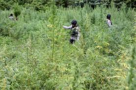Foto-Foto Pemusnahan Mariyuana di Tanah Rencong
