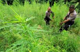 Sah! PBB Hapus Ganja dari Daftar Narkotika
