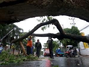 Hujan Deras Disertai Angin Kencang di Banyuwangi Akibatkan Sejumlah Pohon Tumbang