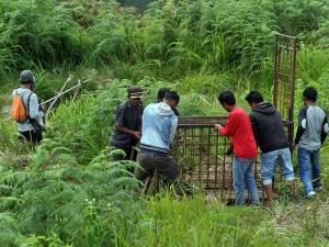 BKSDA Sumbar Memburu Tiga Harimau Sumtera Yang Masuk Ke Pemukiman Warga di Sumatera Barat