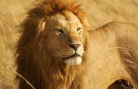 Empat Singa di Kebun Binatang Barcelona Positif Terinfeksi Virus Corona