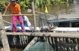 Pandemi, Bisnis Ikan Tirus jadi Penolong Pembudidaya Kepiting Bakau di Kalbar