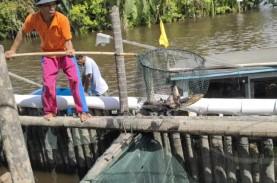 Pandemi, Bisnis Ikan Tirus jadi Penolong Pembudidaya…