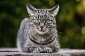 Kucing Bisa Pulih dari Virus Corona Lebih Cepat daripada…