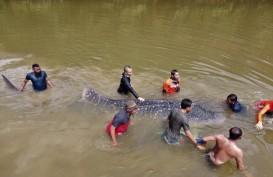 Foto-foto Evakuasi Hiu Terdampar di Sungai Kendari