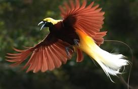 Cara Bertahan Hidup Saat Berburu Kicauan Burung di Hutan Papua