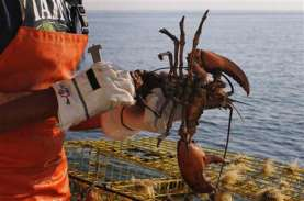 Hampir Sejuta Benih Lobster Selamat dari Penyelundupan…