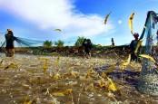 Candu Paman Sam dalam Industri Udang Indonesia