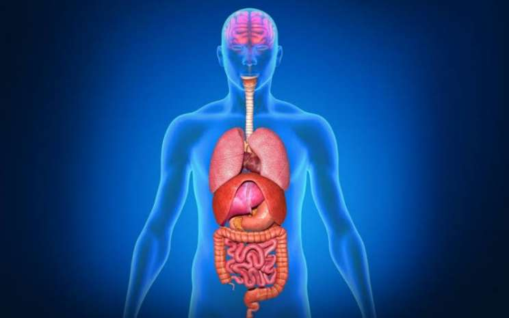 Menjaga imun tubuh sangat penting di tengah pandemi. - Ilustrasi organ tubuh manusia