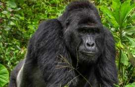 Dua Gorila Positif Virus Corona di Kebun Binatang San Diego