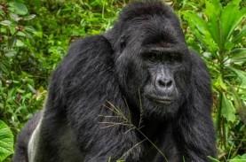 Dua Gorila Positif Virus Corona di Kebun Binatang…