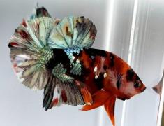 Cuan Besar Berbisnis Ikan Cupang, Omzet Capai Ratusan Juta per Bulan