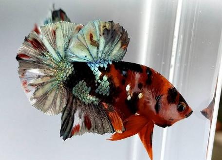 Ikan cupang. - @elbetta_cupang