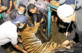 Harimau di Aceh Tenggara Terjerat Perangkap Babi Ditemukan Lemas