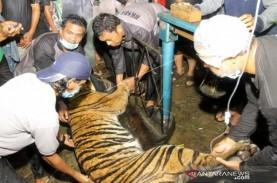 Harimau di Aceh Tenggara Terjerat Perangkap Babi Ditemukan…
