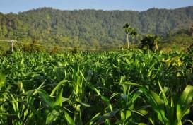 Peningkatan Produksi Jagung, Sumbar Pasang Target Konservatif