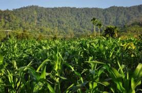Peningkatan Produksi Jagung, Sumbar Pasang Target…