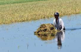Ribuan Hektare Lahan Padi di Kabupaten Cirebon Terdampak Banjir